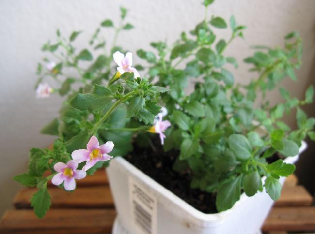 Рассаду бакопы стоит выращивать в отдельных горшочках
