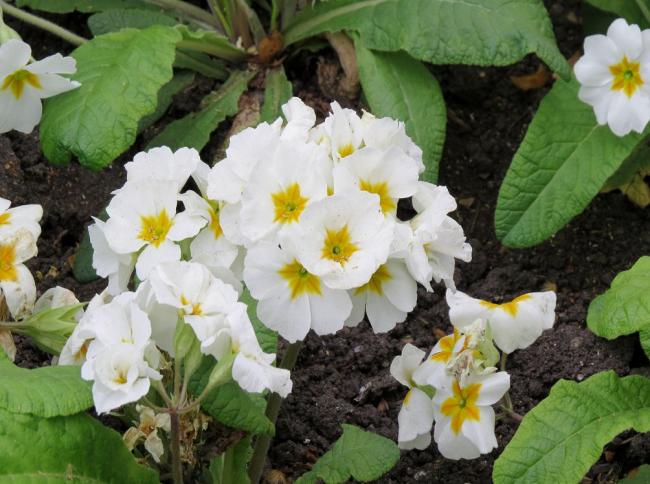 Растение сохраняет ознаки сорта в течение двух лет сбора семян