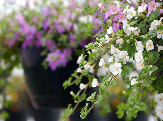 Продолжительный строк цветения - главная особенность декоративных сортов бакопы