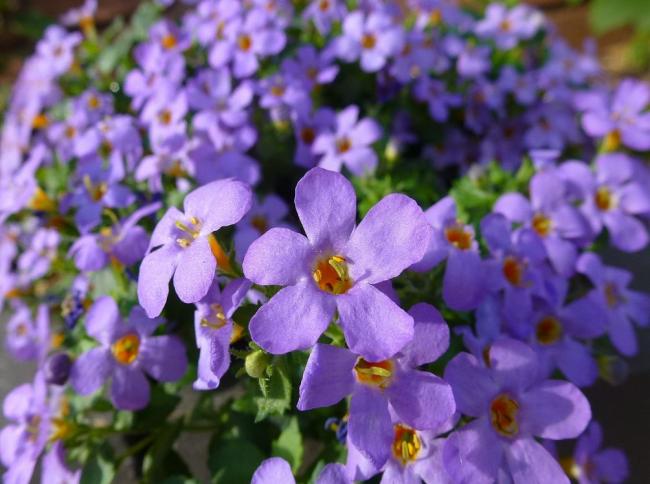 Цветы бакопы выглядят просто. Эффектного вида растению позволяет добиться их множественное число