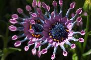 Фото 3 Остеоспермум или африканская ромашка: фото сортов, правила выращивания, ухода и размножения
