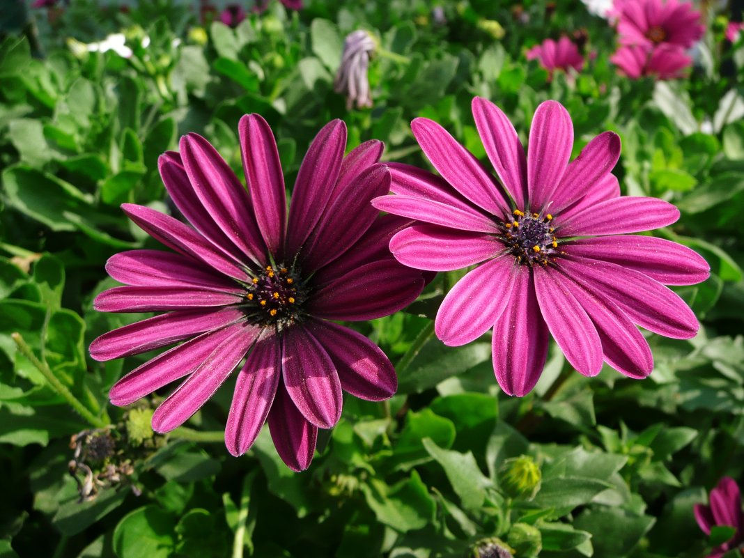 Остеоспермум: выращивание из семян в домашних условиях 50