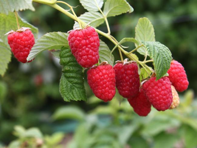 Ягоды малины ценятся не только своим необычным вкусом, но и прекрасными лечебными свойствами