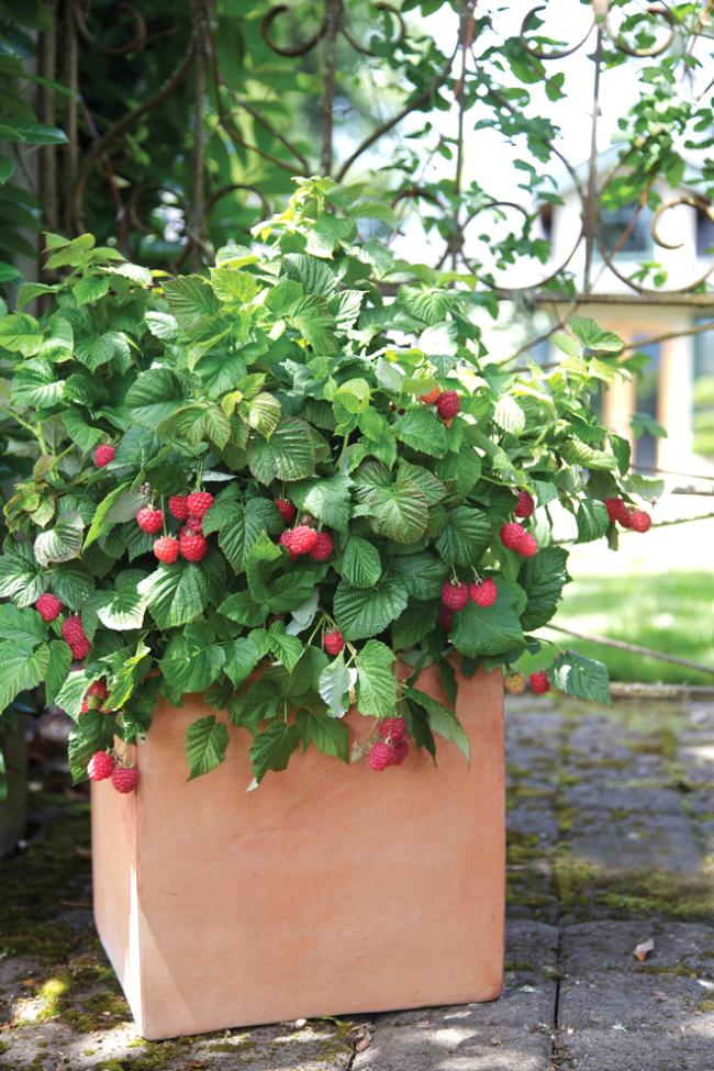 При правильном уходе кусты малины станут отличным декором вашего ландшафта