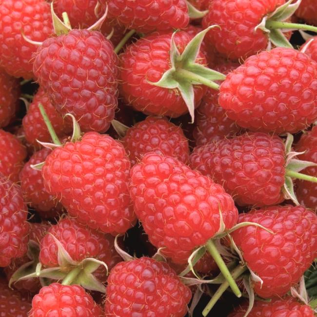 """Ремонтантный сорт малины """"Полька"""" - один из самых популярных"""