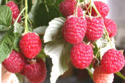 Фото 8 Сорта ремонтантной малины: особенности посадки, правильного ухода и советы садоводов
