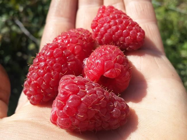 Чтобы малина радовала вас своими плодами, необходимо ее защищать от вредителей и болезней