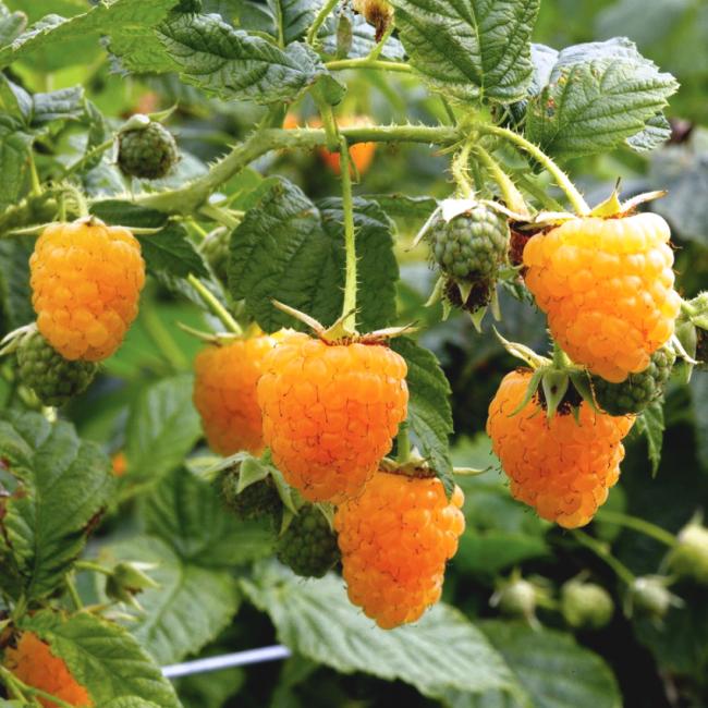 """Сладкие ягоды с оранжевым оттенком сорта малины """"Абрикосовая"""""""
