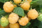 Фото 12 Сорта ремонтантной малины: особенности посадки, правильного ухода и советы садоводов