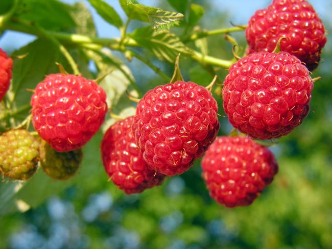 Кусты малины с яркими плодами - великолепное украшение любого сада
