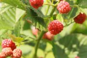 Фото 21 Сорта ремонтантной малины: особенности посадки, правильного ухода и советы садоводов