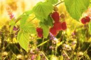 Фото 22 Сорта ремонтантной малины: особенности посадки, правильного ухода и советы садоводов