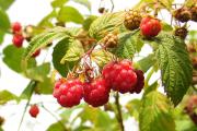 Фото 24 Сорта ремонтантной малины: особенности посадки, правильного ухода и советы садоводов