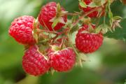 Фото 1 Сорта ремонтантной малины: особенности посадки, правильного ухода и советы садоводов