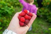 Фото 27 Сорта ремонтантной малины: особенности посадки, правильного ухода и советы садоводов