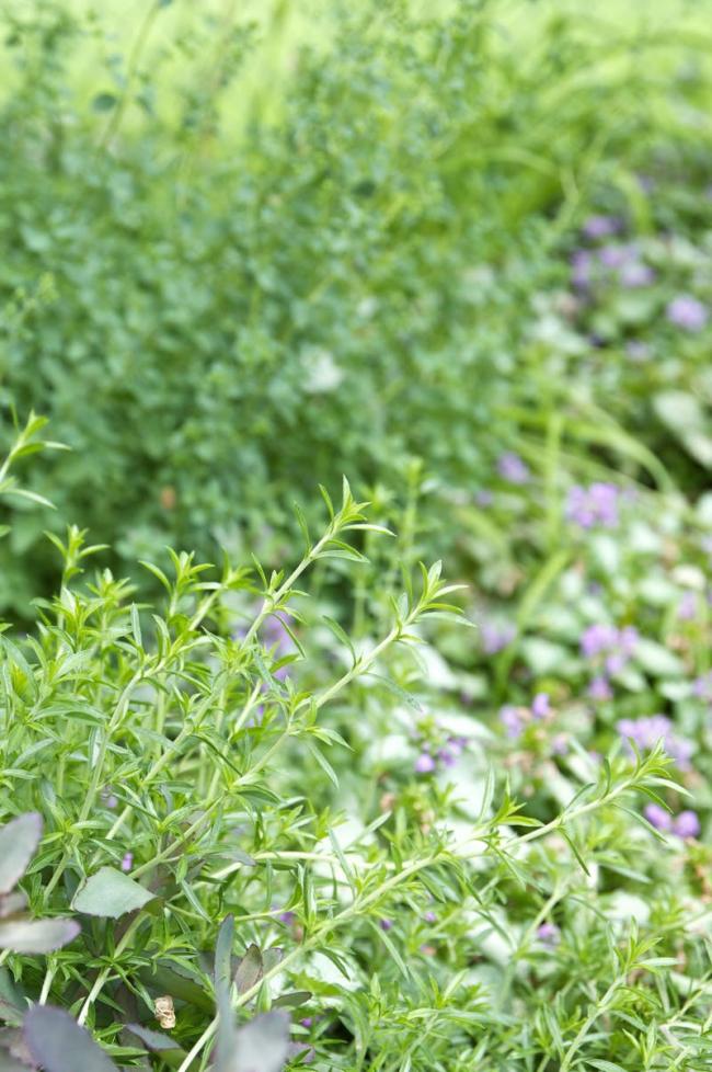 Ароматная добавка для здоровья – тимьян: виды, полезные качества и варианты применения