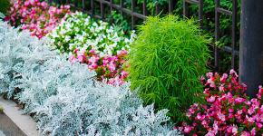 Цинерария серебристая: все хитрости правильной посадки и ухода от опытных садоводов фото