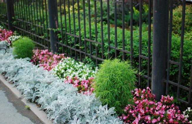 Цинерария серебристая красиво дополнит бордюрные цветы