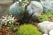 Фото 7 Цинерария серебристая: все хитрости правильной посадки и ухода от опытных садоводов