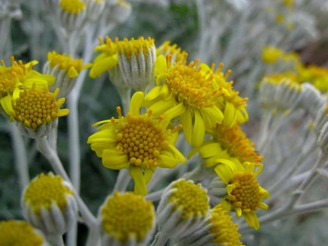 Яркие цветы цинерарии серебристой