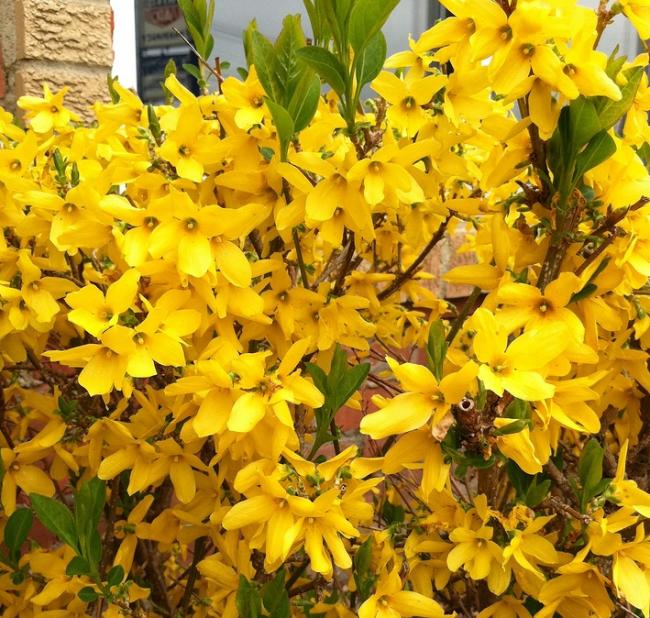 Цветы форзиции