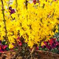 Форзиция: сорта, выращивание и все тонкости ухода за роскошным золотистым кустарником фото