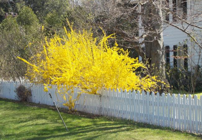 Форзиция: сорта, выращивание и все тонкости ухода за роскошным золотистым кустарником