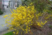 Фото 19 Форзиция: сорта, выращивание и все тонкости ухода за роскошным золотистым кустарником