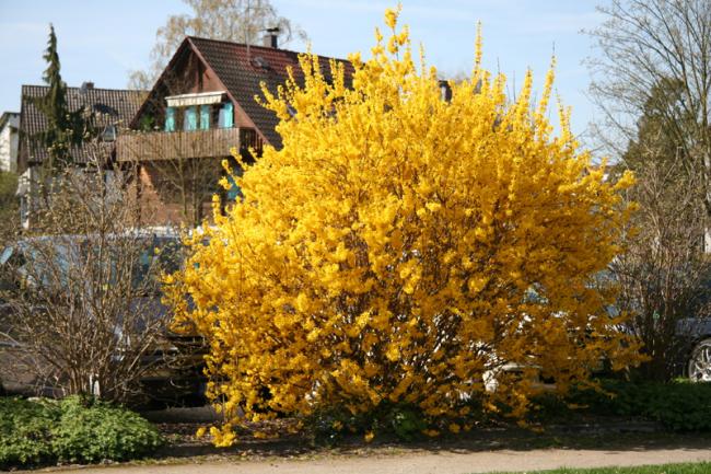 Роскошный пышный куст темно-желтого цвета будет радовать глаз весной