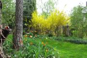 Фото 12 Форзиция: сорта, выращивание и все тонкости ухода за роскошным золотистым кустарником