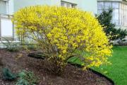 Фото 11 Форзиция: сорта, выращивание и все тонкости ухода за роскошным золотистым кустарником