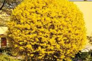 Фото 8 Форзиция: сорта, выращивание и все тонкости ухода за роскошным золотистым кустарником