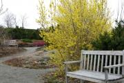 Фото 1 Форзиция: сорта, выращивание и все тонкости ухода за роскошным золотистым кустарником