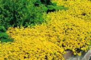 Фото 27 Форзиция: сорта, выращивание и все тонкости ухода за роскошным золотистым кустарником