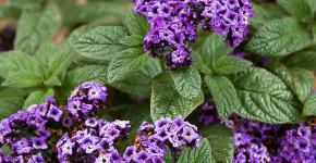 Цветок гелиотроп: популярные виды и рекомендации по правильной посадке, уходу и размножении фото