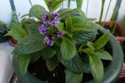 Фото 1 Цветок гелиотроп: популярные виды и рекомендации по правильной посадке, уходу и размножении