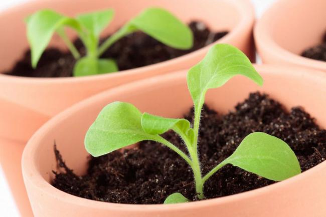 Через некоторое время после пикировки молодому растению прищипывают верхушку для образования пышного куста