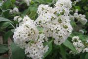 Фото 10 Цветок гелиотроп: популярные виды и рекомендации по правильной посадке, уходу и размножении