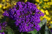 Фото 9 Цветок гелиотроп: популярные виды и рекомендации по правильной посадке, уходу и размножении