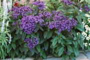 Фото 12 Цветок гелиотроп: популярные виды и рекомендации по правильной посадке, уходу и размножении