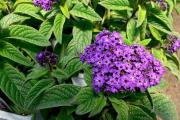 Фото 14 Цветок гелиотроп: популярные виды и рекомендации по правильной посадке, уходу и размножении