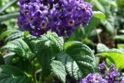 Фото 15 Цветок гелиотроп: популярные виды и рекомендации по правильной посадке, уходу и размножении