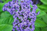 Фото 6 Цветок гелиотроп: популярные виды и рекомендации по правильной посадке, уходу и размножении