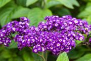 Фото 16 Цветок гелиотроп: популярные виды и рекомендации по правильной посадке, уходу и размножении