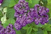 Фото 19 Цветок гелиотроп: популярные виды и рекомендации по правильной посадке, уходу и размножении