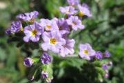 Фото 3 Цветок гелиотроп: популярные виды и рекомендации по правильной посадке, уходу и размножении