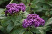 Фото 21 Цветок гелиотроп: популярные виды и рекомендации по правильной посадке, уходу и размножении