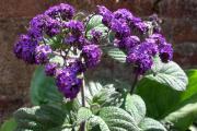 Фото 25 Цветок гелиотроп: популярные виды и рекомендации по правильной посадке, уходу и размножении