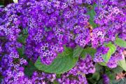 Фото 27 Цветок гелиотроп: популярные виды и рекомендации по правильной посадке, уходу и размножении