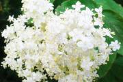 Фото 2 Цветок гелиотроп: популярные виды и рекомендации по правильной посадке, уходу и размножении